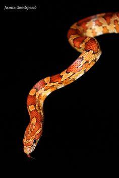 Corn snake