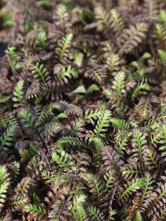 Tiny fern-like smoky bronze-purple foliage with hints of green./groundcover/plant to cover banks and around stepping stones, fast spreader/ shae tollarent but prefers sun/good drainage/average soil