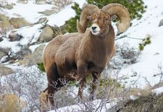 A bighorn sheep photographed near the Gardner River, about 2 miles inside the North Entrance to Yellowstone Park.