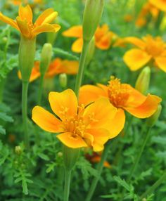 All marigold blossoms are edible, but the French signet series will quickly become a favorite. A popular annual grown from seed, signet marigolds grow in a range of lemon yellow, orange and bicolor single blossoms with a citrus-scented foliage that resembles ferns. The petite flowers can be used whole, or separate the petals to scatter over a dish for an aromatic lift.