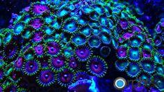 coral fluorescence | Coral fluorescence sous UV orphek ampoule ML7