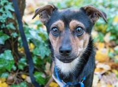 Come in and meet Justin, an adorable 2-year-old Terrier mix! This three-legged guy is as sweet as can be. He loves going for walks despite having three legs and is curious and fun. He will make a wonderful companion. Justin was ADOPTED! from Seattle Humane, November 2016