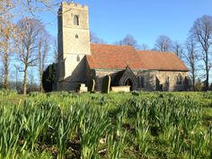 Daffodils springing up at Rickling Church, Essex