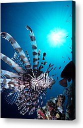 Volitan Lionfish by Steve Rosenberg - Printscapes - Volitan Lionfish Photograph - Volitan Lionfish Fine Art Prints and Posters for Sale
