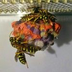 When Given Colored Construction Paper, Wasps Build Rainbow Colored Nests
