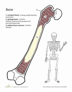 Middle School Life Science Worksheets: Inside-Out Anatomy: The Bone