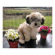 Cute puppy on instagram.com/roko.havanese #puppy #dog #bichon