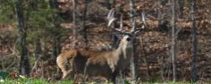 Experience the best hunting in Missouri with hunting packages from The Hunting Grounds. We offer fishing, exotic, & whitetail packages. Hunting Outfitters, The Hunting Ground, Whitetail Deer Hunting, Deer Photos, White Tail, Antlers, Missouri, Giraffe, Exotic