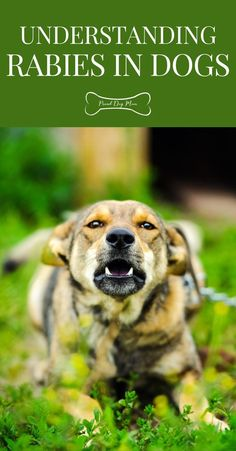 Understanding Rabies in Dogs | Dog Health | Dog Health Care | Dog Health Tips, Dog Health Care, Health Advice, Dog Training Tips, Happy Dogs, Girls Best Friend, Dog Mom, Dog Treats, Healthy Tips