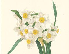 Dianthus Flower Print Large Size illustration by sofrenchvintage