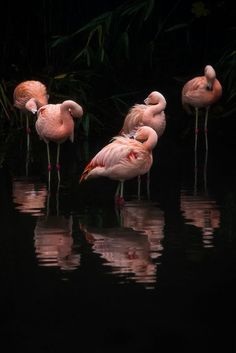 Gorgeous photo in PINK and BLACK! Enlarge this photo of Flamingos on Black - really large so it covers a whole wall! Imagine that photo on a dining room wall! Or in a restaurant, bar o Flamingo Wallpaper, Flamingo Art, Pink Flamingos, Flamingo Photo, Flamingo Painting, Pretty Birds, Beautiful Birds, Animals Beautiful, Flamingo Pictures