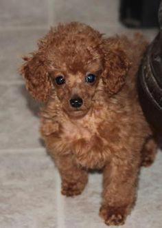 Gallery AnnaAsh Poodles Animais Poodle e Animais