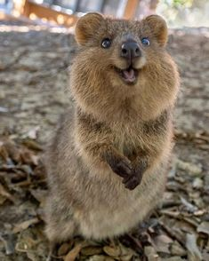 How adorable is this quokka! Tag your cute friends! Pictures by ✨✨ for a feature ❤️ Cute Little Animals, Cute Funny Animals, Happy Animals, Animals And Pets, Wild Animals, Smiling Animals, Farm Animals, Happy Pictures, Funny Pictures