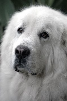Great Pyrenees Make great dogs if they have something to guard. Mine loves my rabbit, ducks and cat. Pyrenees Puppies, Great Pyrenees Puppy, Dogs And Puppies, Doggies, Giant Dogs, Big Dogs, I Love Dogs, Beautiful Dogs, Animals Beautiful