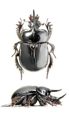 Ceratophyus polyceros (Pallas, 1771) G Onthophagus