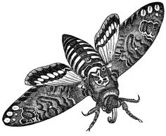 """Click on image to enlarge This is an interesting looking Vintage Moth image from an early Natural History Book. The moth is called a """"Death's Head Hawk Moth"""". If you look closely you can see a skull like pattern on it's back. Thus the """"Death's Head"""" name. I don't think I've ever seen one like...Read More »"""