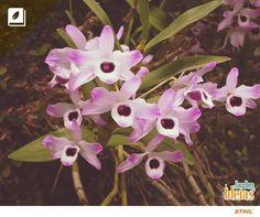 Chamada de orquídea olhos de boneca, a Dendrobium é um dos tipos de orquídea mais populares do mundo. ♥