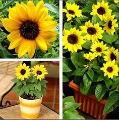 Rare Mini Sunflower Seed