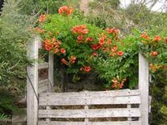 Decorate your homemade compost pile with a climbing vine like the Campsis.