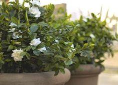 gardenias planter - Google Search