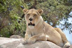 """Flaminia Palasciano  """"I leoni di Harare sono magnifici!""""  Harare, Zimbabwe - 2013"""