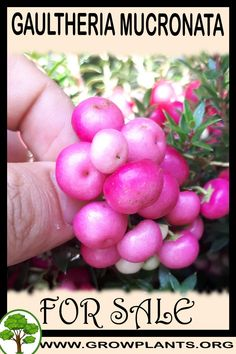 Gaultheria mucronata for sale - Grow plants - Gardening all need to know before buy this plant Tips, amount of water, sun exposure, planting season, blooming season, hardiness zone, height of the plants, if it's grow as houseplant and much more #gardening, #plants Easy Plants To Grow, Buy Plants, Growing Plants, Planting, Gardening, Alternative Names, Plant Sale, Houseplant, Perennials