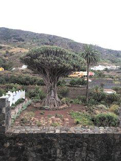 El Drago Milenario, Icod de los Vinos Tenerife Dragon tree, Dracaena draco
