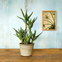 Aesthetic and realistic. This Faux Potted Aloe will earn your serious scandal bohemian style credentials. Our faux potted plant range is curated with those in mind that favour easy style. Graham, Faux Succulents, Faux Plants, Faux Flowers, Pink Flowers, Paddle Plant, Magnolia Branch, Yucca Plant, Banana Plants