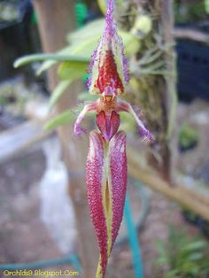 Bulbophyllum Orchidaceae | Bulbophyllum Mastigion fascinator Orchids Flowers Pictures