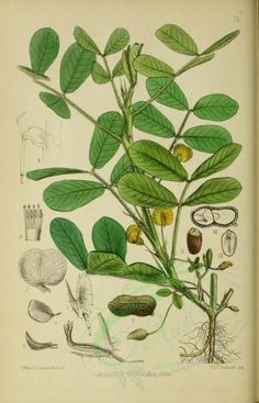 arachis hypogaea - high resolution image from old book. Old Book Pages, Art Clipart, Picture Collection, Medicinal Plants, Botany, Wall Collage, Graphic Art, Plant Leaves, Flora