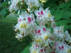 Colorful flowers of the Horse Chestnut (Aesculus hippocastanum).