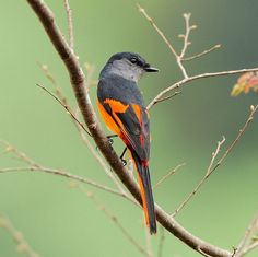 The Grey-chinned Minivet (Pericrocotus solaris) is a species of bird in the Campephagidae family. It is found in Bangladesh, Bhutan, Cambodia, China, India, Indonesia, Laos, Malaysia, Myanmar, Nepal, Taiwan, Thailand, and Vietnam. Its natural habitat is subtropical or tropical moist lowland forests.
