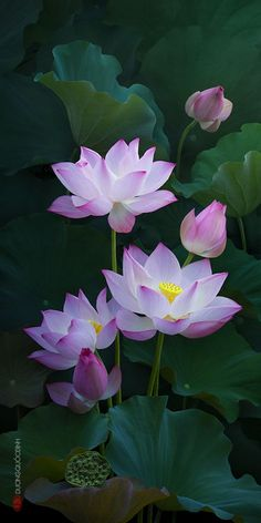 New tattoo lotus pink water lilies Ideas Flowers Nature, Exotic Flowers, Amazing Flowers, My Flower, Beautiful Flowers, Water Flowers, Tropical Flowers, Watercolor Flower, Lotus Flower Paintings
