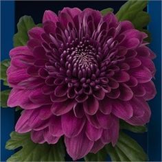 Chrysanthemum Blooms Luba are a red, disbudded, single headed cut flower…