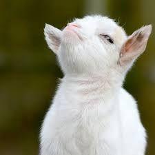 Quality goat http://ift.tt/2f0thtw
