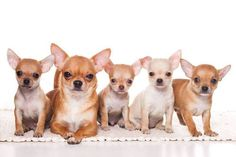 Images Of Cute Chihuahuas Guaranteed To Bring A Smile...