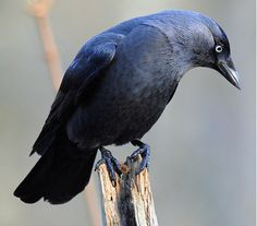 Lots of shades of black - black face, blue-white eyes, grey neck, light black belly with spots, blue-black wings and tail