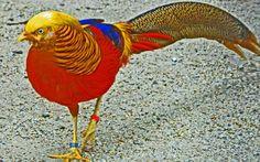 golden pheasant amazing desktop new hd wallpaper in fullscreen