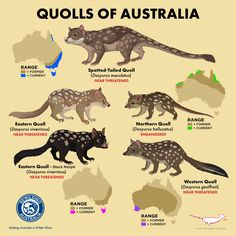 """""""Love Help Australians know & love our quolls by spreading the word! Extinct Animals, Rare Animals, Animals And Pets, Strange Animals, Primates, Mammals, Fun Facts About Animals, Animal Facts, Animals Information"""