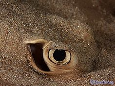 Close up eye Common String Ray