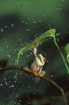 frog using a leaf as an umbrella, love the way the droplets of water are just bouncing off the leaf.