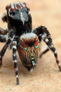 19 best spiders in australia images spiders in australia spiders rh pinterest com