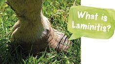 What is Laminitis?