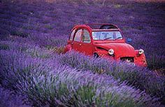 red car among lavender rows