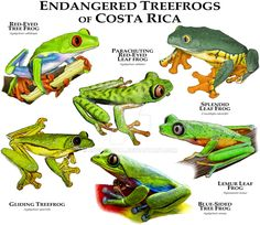 Endangered Treefrogs of Costa Rica by rogerdhall on DeviantArt