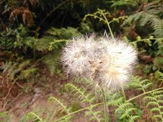 Blow up Dandelion, Flowers, Plants, Pictures, Garden, Garten, Dandelions, Planters, Royal Icing Flowers