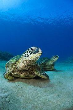 Green Sea Turtles by Dave Fleetham
