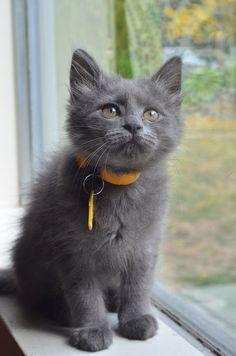 Gorgeous Gray Cat...