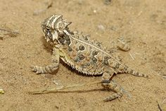 baby Texas Horny Toad