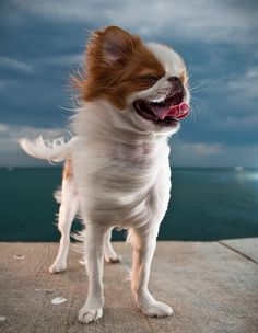 Japanese Chin - This reminds me of my Miloche Japanese Chin Puppies, Japanese Dog Breeds, Japanese Dogs, Chihuahua Love, Chihuahua Puppies, Dog Breeds List, Dog Training Classes, Dog Varieties, Dog Information